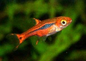 http://www.weichwasserfische.de/Boraras-brigittae.jpg